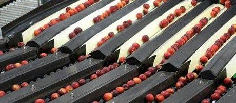 clasificadora fruta