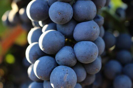 La principal diferencia entre uva blanca y uva negra es la vitamina B