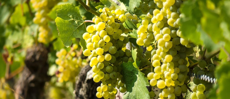 uva blanca de mesa min 1