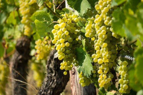 Uva blanca. Diferencia entre uva blanca y uva negra
